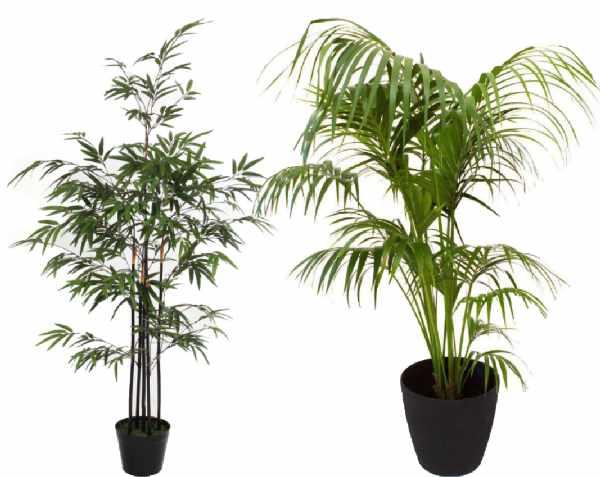 Bamboe en Kentia palm